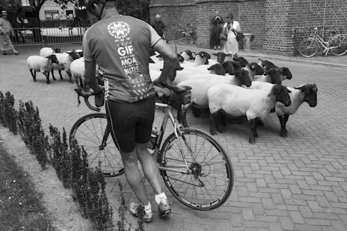 BELGIUM. Veurne (West Vlaanderen). 29/07/2012: Sheep at Penitent's Procession.